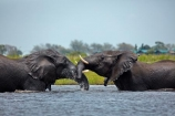 Africa;African-elephant;African-elephants;agression;agressive;animal;animals;Botswana;Chobe-N.P.;Chobe-National-Park;Chobe-NP;Chobe-River;Chobe-River-Front;Chobe-River-Front-Region;Chobe-River-Region;Chobe-waterfront;elephant;elephants;fight;fighting;Kasane;Loxodonta-africana;mammal;mammals;national-park;national-parks;natural;nature;pachyderm;pachyderms;reserve;reserves;river;rivers;safari;safaris;Southern-Africa;tusk;tusks;water;wild;wilderness;wildlife;wildlife-park;wildlife-parks;wildlife-reserve;wildlife-reserves