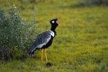 Africa;Afrotis-afraoides;Animal;animals;avian;bird;bird-spotting;bird-watching;bird_watching;birds;Black-Korhaan;Black-Korhaans;eco-tourism;eco_tourism;ecotourism;Etosha-N.P.;Etosha-National-Park;Etosha-NP;Fauna;game-drive;game-park;game-parks;game-reserve;game-reserves;game-viewing;Korhaan;Korhaans;Namibia;national-park;national-parks;natural;nature;Northern-Black-Korhaan;Northern-Black-Korhaans;Ornithology;reserve;reserves;Southern-Africa;White_quilled-Bustard;White_quilled-Bustards;wild;wilderness;wildlife;wildlife-park;wildlife-parks;wildlife-reserve;wildlife-reserves