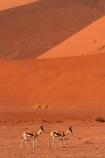 africa;african;Animal;Animals;Antelope;Antelopes;Antidorcas-marsupialis;arid;big-dunes;desert;deserts;dry;dune;dunes;expanse;giant-dune;giant-dunes;giant-sand-dune;giant-sand-dunes;hot;huge-dunes;large-dunes;Mammal;Mammals;Namib-Desert;Namib-Naukluft-N.P.;Namib-Naukluft-National-Park;Namib-Naukluft-NP;Namib_Naukluft-N.P.;Namib_Naukluft-National-Park;Namib_Naukluft-NP;Namibia;national-park;national-parks;natural;Nature;orange-sand;remote;remoteness;reserve;reserves;sand;sand-dune;sand-dunes;sand-hill;sand-hills;sand_dune;sand_dunes;sand_hill;sand_hills;sanddune;sanddunes;sandhill;sandhills;sandy;Southern-Africa;springbok;springboks;Wild;wilderness;Wildlife