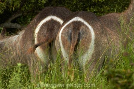 Africa;African-animals;African-wildlife;animal;animals;antelope;antelopes;backside;backsides;behind;behinds;bottom;bottom-marking;bottom-markings;bottoms;circle;circles;common-waterbuck;common-waterbucks;ellipse_shaped-ring;ellipsen-waterbuck;ellipsen-waterbucks;female;female-waterbuck;female-waterbucks;females;game-drive;game-park;game-parks;game-reserve;game-reserves;game-viewing;Great-Limpopo-Transfrontier-Park;Kobus-ellipsiprymnus;Kobus-ellipsiprymnus-ellipsiprymnus;Kruger;Kruger-N.P.;Kruger-National-Park;Kruger-NP;Kruger-reserve;Kruger-to-Canyons-Biosphere;mammal;mammals;marking;markings;national-park;national-parks;natural;nature;posterior;posteriors;Republic-of-South-Africa;reserve;reserves;rump-marking;rump-markings;South-Africa;South-African-Republic;Southern-Africa;tail;tail-end;tails;target;targets;water-buck;water-bucks;Waterbick;waterbuck;waterbucks;white-circle;wild;wilderness;wildlife;wildlife-park;wildlife-parks;wildlife-reserve;wildlife-reserves