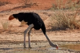 Africa;arid;bird;bird-spotting;birds;Botswana;desert;deserts;drink;drinking;dry;dune;dunes;game-viewing;Gemsbok-National-Park;hot;Kalahari-Desert;Kalahari-Gemsbok-N.P.;Kalahari-Gemsbok-National-Park;Kalahari-Gemsbok-NP;Kgalagadi;Kgalagadi-Park;Kgalagadi-Transfrontier-Park;national-park;national-parks;natural;nature;orange-sand;Ostrich;ostriches;park;parks;puddle;puddles;remote;remoteness;Republic-of-South-Africa;reserve;reserves;safari;safaris;sand;sandy;South-Africa;South-African-Republic;Southern-Africa;Struthio-camelus;wild;wilderness;wildlife