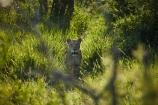 Africa;African-animals;African-wildlife;animal;animals;carnivore;carnivores;cat;cats;danger;dangerous;eye;eyes;face;faces;feline;female;female-lion;female-lions;females;game-drive;game-park;game-parks;game-reserve;game-reserves;game-viewing;Great-Limpopo-Transfrontier-Park;hunter;hunters;Kruger;Kruger-N.P.;Kruger-National-Park;Kruger-NP;Kruger-reserve;Kruger-to-Canyons-Biosphere;Lion;lioness;lionesses;lions;mammal;mammals;national-park;national-parks;natural;nature;Panthera-leo;predator;predators;pride;Republic-of-South-Africa;reserve;reserves;safari;safaris;South-Africa;South-African-Republic;Southern-Africa;wild;wilderness;wildlife;wildlife-park;wildlife-parks;wildlife-reserve;wildlife-reserves