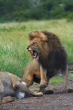 Africa;African-animals;African-wildlife;angry;animal;animals;breeding;carnivore;carnivores;cat;cats;danger;dangerous;feline;female;female-lion;female-lions;females;game-drive;game-park;game-parks;game-reserve;game-reserves;game-viewing;Great-Limpopo-Transfrontier-Park;hunter;hunters;Kruger;Kruger-N.P.;Kruger-National-Park;Kruger-NP;Kruger-reserve;Kruger-to-Canyons-Biosphere;Lion;lion-mane;lion-mating;lion-roar;lion-roaring;lioness;lionesses;lions;lions-mating;male;male-lion;male-lions;mammal;mammals;mane;mating;mouth;mouth-open;mouths;national-park;national-parks;natural;nature;open-mouth;pairing;Panthera-leo;predator;predators;Republic-of-South-Africa;reserve;reserves;roar;roaring;South-Africa;South-African-Republic;Southern-Africa;teeth;tooth;wild;wilderness;wildlife;wildlife-park;wildlife-parks;wildlife-reserve;wildlife-reserves