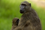 Africa;African-animals;African-wildlife;animal;animals;babies;baboon;baboons;baby;baby-baboon;baby-baboons;Cape-baboon;Cape-baboons;Chacma-baboon;Chacma-baboons;game-drive;game-park;game-parks;game-reserve;game-reserves;game-viewing;Gray_footed-chacma-baboon;Great-Limpopo-Transfrontier-Park;Kruger;Kruger-N.P.;Kruger-National-Park;Kruger-NP;Kruger-reserve;Kruger-to-Canyons-Biosphere;mammal;mammals;monkey;monkeys;national-park;national-parks;natural;nature;Papio-ursinus;Papio-ursinus-griseipes;primate;primates;Republic-of-South-Africa;reserve;reserves;South-Africa;South-African-Republic;Southern-Africa;wild;wilderness;wildlife;wildlife-park;wildlife-parks;wildlife-reserve;wildlife-reserves