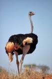 Africa;African;arid;bird;bird-spotting;birds;Botswana;desert;deserts;dry;game-viewing;Gemsbok-National-Park;hot;Kalahari-Desert;Kalahari-Gemsbok-N.P.;Kalahari-Gemsbok-National-Park;Kalahari-Gemsbok-NP;Kgalagadi;Kgalagadi-Park;Kgalagadi-Transfrontier-Park;national-park;national-parks;natural;nature;Ostrich;ostriches;park;parks;Republic-of-South-Africa;reserve;reserves;safari;safaris;South-Africa;South-African-Republic;Southern-Africa;Struthio-camelus;wild;wilderness;wildlife
