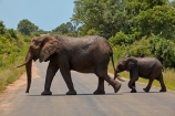 Africa;African;African-animals;African-bush-elephant;African-bush-elephants;African-elephant;African-elephants;African-wildlife;animal;animals;babies;baby;calf;calfs;calves;crossing;danger;elephant;elephants;game-drive;game-park;game-parks;game-reserve;game-reserves;game-viewing;Great-Limpopo-Transfrontier-Park;Kruger;Kruger-N.P.;Kruger-National-Park;Kruger-NP;Kruger-reserve;Kruger-to-Canyons-Biosphere;Loxodonta-africana;mammal;mammals;national-park;national-parks;natural;nature;pachyderm;pachyderms;Republic-of-South-Africa;reserve;reserves;road;roads;safari;safaris;South-Africa;South-African-Republic;Southern-Africa;tusk;tusks;wild;wilderness;wildlife;wildlife-park;wildlife-parks;wildlife-reserve;wildlife-reserves