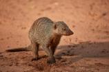 Africa;African-wildlife;Banded-Mongoose;mammal;mammals;mongeese;mongooses;Mungos-mungo;Southern-Africa;Victoria-Falls;Victoria-Falls-Rest-Camp,;wildlife;Zimbabwe