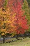Australia;autuminal;autumn;autumn-colour;autumn-colours;autumnal;avenue;avenues;Blue-Mountains;Cathedral-Reserve;color;colors;colour;colours;deciduous;fall;leaf;leaves;Liquid-Amber;Liquidambar-styraciflua;Mount-Irvine-Rd;Mount-Irvine-Road;Mount-Wilson;Mt-Wilson;Mt.-Wilson;N.S.W.;New-South-Wales;NSW;raods;road;season;seasonal;seasons;tree;trees