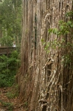 Atherton-Tableland;Atherton-Tablelands;australasia;Australasian;Australia;australian;bark;bush;Curtain-Fig-Forest-Reserve;Curtain-Fig-Tree;environment;Fig-Tree;Fig-Trees;foliage;forest;forests;girl;lumber;natural;nature;North-Queensland;old;parasite;parasitic;person;plant;Qld;Queensland;rain-forest;rain-forests;rain_forest;rain_forests;rainforest;rainforests;root;roots;strangler-fig;strangler-fig-tree;strangler-fig-trees;strangler-figs;tourism;tourist;tourists;tree;tree-trunk;tree-trunks;trees;tropical;tropical-rainforest;tropical-rainforests;tropical-vegetation;trunk;trunks;vegetation;wilderness;woman;wood;woods;Yungaburra