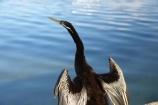 A.C.T.;ACT;Anhinga-melanogaster;Animal;animals;Australia;Australian-Capital-Territory;Avian;Beak;Bird;bird-watching;bird_watching;birds;calm;Canberra;capital;capitals;Darter;Fauna;Feather;lake;Lake-BG;Lake-Burley-Griffin;lakes;Natural;Nature;Ornithology;placid;quiet;reflection;reflections;serene;smooth;still;tranquil;water;wild;Wildlife;Wing