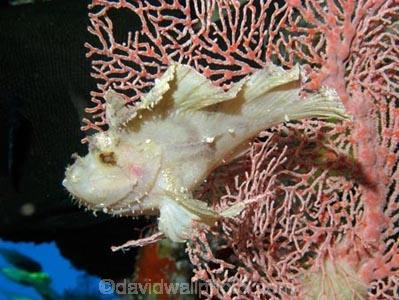 Agincourt-Reef;Agincourt-Reefs;Australasian;Australia;Australian;Barrier-Reef;coral-reef;coral-reefs;Coral-Sea;corals;dive-site;dive-sites;diving;ecosystem;environment;fan-coral;fan-corals;fish;fishes;gorgonian-fan-coral;Great-Barrier-Reef;Great-Barrier-Reef-Marine-Park;Leaf-Scorpionfish;Leaf-Scorpionfishes;marine;marine-environment;marine-life;marinelife;North-Queensland;Ocean;oceanlife;Oceans;Paperfish;Qld;Queensland;reef;reefs;ribbon-reef;ribbon-reefs;ribbonreef;ribbonreefs;Sailfin-leaf-fish;Scorpaenidae;Scorpionfish;scorpionfishes;scuba-diving;Sea;sea-fan;sea-fans;seafan;seafans;sealife;Seas;South-Pacific;Taenianotus-triacanthus;Tasman-Sea;Tropcial-North-Queensland;tropical-reef;tropical-reefs;under-water;under_water;undersea;underwater;underwater-photo;underwater-photography;underwater-photos;UNESCO-World-Heritage-Site;Wiorld-Heritage-Site;World-Heritage-Area;World-Heritage-Park