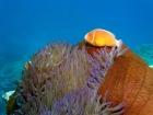 Agincourt-Reef;Agincourt-Reefs;Amphiprion-perideraion;Anemone;Anemones;australasian;Australia;australian;Barrier-Reef;coral-reef;coral-reefs;Coral-Sea;dive-site;dive-sites;diving;Ecosystem;Environment;False-skunk-striped-clown;False-skunk_striped-anemonefish;False-skunkstriped-anemonefish;fish;fishes;Great-Barrier-Reef;Great-Barrier-Reef-Marine-Park;marine;marine-environment;Marine-life;marinelife;North-Queensland;ocean;oceanlife;oceans;Pink-Anemonefish;Pink-Anemonefishes;Pink-skunk-clown;Pomacentridae;Qld;queensland;reef;reefs;ribbon-reef;ribbon-reefs;ribbonreef;ribbonreefs;Salmon-clownfish;scuba-diving;sea;sealife;seas;south-pacific;tasman-sea;Tropcial-North-Queensland;tropical-reef;tropical-reefs;under-water;under_water;undersea;underwater;underwater-photo;underwater-photography;underwater-photos;UNESCO-World-Heritage-Site;Whitebanded-anemonefish;Wiorld-Heritage-Site;world-heritage-area;World-Heritage-Park
