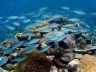 Agincourt-Reef;Agincourt-Reefs;Australasian;Australia;Australian;Barrier-Reef;Blue-and-Gold-Fusilier;Blue-and-Gold-Fusiliers;Caesio-caerulaurea;coral-reef;coral-reefs;Coral-Sea;dive-site;dive-sites;diving;ecosystem;environment;fish;fishes;Great-Barrier-Reef;Great-Barrier-Reef-Marine-Park;marine;marine-environment;marine-life;marinelife;North-Queensland;Ocean;oceanlife;Oceans;Qld;Queensland;reef;reefs;ribbon-reef;ribbon-reefs;ribbonreef;ribbonreefs;School;Scissor_tailed-fusilier;Scissor_tailed-fusiliers;Scissortail-fusilier;Scissortail-fusiliers;scuba-diving;Sea;sealife;Seas;shoal;shoals;South-Pacific;Tasman-Sea;Tropcial-North-Queensland;tropical-reef;tropical-reefs;under-water;under_water;undersea;underwater;underwater-photo;underwater-photography;underwater-photos;UNESCO-World-Heritage-Site;Wiorld-Heritage-Site;World-Heritage-Area;World-Heritage-Park