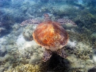 Australasian;Australia;australian;Barrier-Reef;cay;cays;Chelonia-mydas;Cheloniidae;coasts;coral-cay;coral-cays;coral-reef;coral-reefs;Coral-Sea;dive-site;dive-sites;diving;Ecosystem;Environment;Great-Barrier-Reef;Great-Barrier-Reef-Marine-Park;Green-Turtle;Green-Turtles;Low-Is;Low-Is.;Low-Island;Low-Islands;Low-Isles;marine;marine-environment;marine-life;marinelife;North-Queensland;ocean;oceanlife;Oceans;Qld;queensland;reef;reefs;sand-cay;sand-cays;scuba-diving;sea;sea-turtles;sea-tutle;sealife;Seas;snorkeling;South-Pacific;tasman-sea;Tropcial-North-Queensland;tropical;tropical-reef;tropical-reefs;under-water;under_water;undersea;underwater;underwater-photo;underwater-photography;underwater-photos;UNESCO-World-Heritage-Site;water;Wiorld-Heritage-Site;world-heritage-area;World-Heritage-Park;world-heritage-site