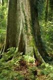 Australasian;Australia;Australian;buttress-root;buttress-roots;Central-Eastern-Rainforest-Reserves;Dorrigo-N.P.;Dorrigo-National-Park;Dorrigo-NP;Dorrigo-Rainforest;forest;forests;Gondwana-Rainforests-of-Australia;green;lush;Mid-North-Coast;Mid-North-Coast-NSW;Mid-North-Nsw;Mid-Northern-NSW;N.S.W.;New-South-Wales;NSW;rainforest;rainforests;timber;tree;tree-trunk;tree-trunks;trees;trunk;trunks;verdant;Waterfall-Way;Wonga-Walk;wood;World-Heritage-Site