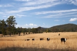 agricultural;agriculture;Australasian;Australia;Australian;cattel;country;countryside;cow;Cows;dry;Dry-Farmland;farm;farming;farmland;farms;field;fields;licestock;meadow;meadows;Mid-North-Coast;Mid-North-Coast-NSW;Mid-North-Nsw;Mid-Northern-NSW;N.S.W.;New-South-Wales;NSW;Oxley-Highway;paddock;paddocks;pasture;pastures;rural;stock;Wauchope