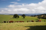 agricultural;agriculture;Australasian;Australia;Australian;cattle;Comboyne;country;countryside;cow;cows;farm;farming;farmland;farms;field;fields;Greater-Taree-Region;green;Innes-View-Road;livestock;meadow;meadows;Mid-North-Coast;Mid-North-Coast-NSW;Mid-North-Nsw;Mid-Northern-NSW;N.S.W.;New-South-Wales;NSW;paddock;paddocks;pasture;pastures;rural;spring;spring-time;stock