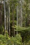 Australasian;Australia;Australian;Boorganna;bush;Colling-Rd;Colling-Road;Elands;eucalypt;eucalypts;eucalyptus;Eucalyptus-Trees;eucalytis;forest;forests;Greater-Taree-Region;gum;gum-tree;gum-trees;gums;Mid-North-Coast;Mid-North-Coast-NSW;Mid-North-Nsw;Mid-Northern-NSW;N.S.W.;New-South-Wales;NSW;tree;trees;trunk;trunks