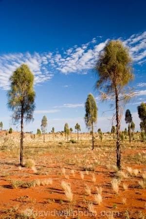 Allocasuarina-decaisneana;Anugu;arid;Australasia;Australia;Australian;Australian-Desert;Australian-Deserts;back-country;backcountry;Desert;Desert-Oak;Desert-Oaks;Deserts;Kurkara;N.T.;National-Park;National-Parks;Northern-Territory;NT;Outback;red-centre;The-Outback;Uluru-_-Kata-Tjuta-National-Park;Uluru-_-Kata-Tjuta-World-Heritage-Area;UNESCO;Unesco-world-heritage-area;World-Heritage-Area;World-Heritage-Areas
