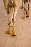 Alice-Springs;animal;Australasia;Australasian;Australia;Australian;Australian-Desert;Australian-Outback;camel;camel-feet;camel-foot;camel-ride;camel-riding;camel-trek;camel-trekking;camels;Central-Australia;desert-animal;dromedaries;dromedary;feet;foot;footprints;leg;legs;mammal;mammals;N.T.;Northern-Territory;NT;Outback;red-centre;sand;Todd-River;tourism;travel