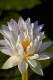 Australia;Australian;Barradjungga;billabong;billabongs;Blue-Lily;flood-plain;flood-plains;floodplain;floodplains;flower;flowers;Gagadju;Kakadu;Kakadu-N.P.;Kakadu-National-Park;Kakadu-NP;lilies;lily;N.T.;national-parks;Northern-Territory;NT;Nymphea-violacea;Top-End;UN-world-heritage-area;UN-world-heritage-site;UNESCO-World-Heritage-area;UNESCO-World-Heritage-Site;united-nations-world-heritage-area;united-nations-world-heritage-site;water-lilies;water-lily;wetland;wetlands;world-heritage;world-heritage-area;world-heritage-areas;World-Heritage-Park;World-Heritage-site;World-Heritage-Sites;Yellow-Water;Yellow-Water-Billabong;Yellow-Water-Wetland;Yellow-Water-Wetlands