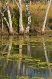Adelaide-River;Australasia;Australia;calm;dam;dams;lillies;lilly;lilly-pond;lilly-ponds;N.T.;Northern-Territory;NT;placid;pond;ponds;quiet;reflection;reflections;reservoir;reservoirs;serene;smooth;still;Top-End;tranquil;water