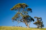Australasian;Australia;Australian;Barossa-Valley;country;countryside;equestrian;eucalypt;eucalypts;eucalyptus;eucalytis;farm;farming;farmland;farms;field;fields;gum;gum-tree;gum-trees;gums;horse;horse-running;horses;horses-running;meadow;meadows;paddock;paddocks;pasture;pastures;running-horse;running-horses;rural;S.A.;SA;South-Australia;stock;tree;trees