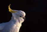 sulphur;sulpher;sulfer;sulfur;crested;cockatoo;australia;australian;sydney;wildlife;animal;bird;birds;feather;feathers;beak;indigenous;native;endemic