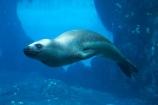 Australasia;Australia;Hydrurga-leptonyx;Leopard-Seal;Leopard-Seals;mammal;mammals;N.S.W.;New-South-Wales;NSW;Sydney;Sydney-Zoo;Taronga-Zoo;underwater;viewing;wildlife;zoo;zoos