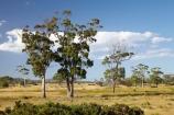 agricultural;agriculture;Australasian;Australia;Australian;Bicheno;country;countryside;East-Tasmania;Eastern-Tasmania;eucalypt;eucalypts;eucalyptus;eucalytis;farm;farming;farmland;farms;field;fields;gum;gum-tree;gum-trees;gums;Island-of-Tasmania;meadow;meadows;paddock;paddocks;pasture;pastures;rural;State-of-Tasmania;Tas;Tasmania;tree;trees