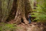 Australasian;Australia;Australian;beautiful;beauty;bush;Derwent-Valley;endemic;Eucalyptus-Forest;Eucalyptus-regnans;fern;ferns;forest;forests;frond;fronds;green;Island-of-Tasmania;Mount-Field-N.P.;Mount-Field-National-Park;Mount-Field-NP;Mountain-Ash;Mt-Field-N.P.;Mt-Field-National-Park;Mt-Field-NP;native;native-bush;natural;nature;scene;scenic;State-of-Tasmania;Swamp-Gum;Tall-Trees-Loop;Tall-Trees-Track;Tall-Trees-Walk;Tall-Trees-Walking-Track;Tas;Tasmania;tree;trees;wood;woods