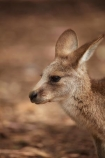 animal;animals;Australasian;Australia;Australian;Eastern-Grey-Kangaroo;Eastern-Grey-Kangaroos;Forester-Kangaroo;Forester-Kangaroos;gray-kangaroo;gray-kangaroos;Great-Grey-Kangaroo;Grey-Kangaroo;Grey-Kangaroos;head;heads;Island-of-Tasmania;kangaroo;kangaroos;Macropodidae;Macropus-giganteus;Macropus-giganteus-tasmaniensis;mammal;mammals;Marsupial;Marsupials;marsupium;Nature;portrait;portraits;pouch;skippy;Southern-Tasmania;State-of-Tasmania;Tas;Tasman-Peninsula;Tasmania;Tasmanian-Devil-Conservation-Park;Wild;Wildlife;Zoology