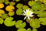 Australasian;Australia;Australian;Cental-Tasmania;historic-farm;historic-farms;Island-of-Tasmania;lilies;lily;lily-flower;lily-flowers;lily-pond;Lily-Pond-and-Flower;lily-ponds;Longford;Midland-Highway;Midlands;State-of-Tasmania;Tas;Tasmania;Woolmers-Estate;Woolmers-Farm;Woolmers-Historic-Estate;Woolmers-Historic-Farm