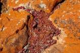 algae;Australasian;Australia;Australian;fungi;Island-of-Tasmania;lichens;North-West-Tasmania;North-Western-Tasmania;Northern-Tasmania;orange;orange-lichen;orange-lichens;orange-rock;orange-rock-lichen;orange-rock-lichens;orange-rocks;Red-Succulent;Red-Succulents;State-of-Tasmania;Tas;Tasmania;The-North;West-Point;West-Point-State-Reserve