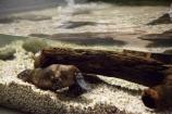 Australasian;Australia;Australian;Beauty-Point;Beauty-Pt;Island-of-Tasmania;Monotremata;Monotreme;Monotremes;North-Tasmania;Northern-Tasmania;Ornithorhynchidae;Ornithorhynchus;Ornithorhynchus-anatinus;Platypus;Platypus-House;State-of-Tasmania;Tas;Tasmania