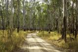 Australia;australian;barmah-state-forest;Barmah-State-Park;beautiful;beauty;bush;countryside;dusty;endemic;eucalypt;eucalypts;eucalyptus;eucalytis;forest;forests;gravel-road;gravel-roads;green;gum;gum-tree;gum-trees;gums;metal-road;metal-roads;metalled-road;metalled-roads;native;native-bush;natives;natural;nature;red-gum;red-gums;road;roads;rural;scene;scenic;timber;track;tracks;tree;tree-trunk;tree-trunks;trees;trunk;trunks;Victoria;wood;woods