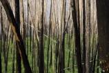 australasia;australia;australian;beautiful;beauty;black;blackened;burn;burned_out;burnt;burnt_out;bush;bush-fire;bush-fires;bush_fire;bush_fires;bushfire;bushfires;charcoal;chared;destroyed;endemic;eucalypt;eucalypts;eucalyptus;eucalytis;fire;fires;forest;forest-fires;forest_fire;forest_fires;forestfire;forestfires;forests;green;gum;gum-tree;gum-trees;gums;native;native-bush;natives;natural;nature;scene;scenic;timber;tree;tree-trunk;tree-trunks;trees;trunk;trunks;victoria;wild-fire;wild_fire;wild_fires;wildfire;wildfires;wood;woods