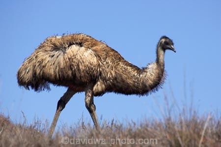 Animal;animals;australasian;australia;Australian;Avian;Beak;bird;bird-watching;bird_watching;birds;Dromaius-novaehollandiae;Emu;emus;Fauna;Feather;feathers;Flinders-Ranges;Flinders-Ranges-N.P.;Flinders-Ranges-National-Park;Flinders-Ranges-NP;Habitat;national-park;national-parks;Natural;Nature;Ornithology;Oz;park;parks;Plumage;S.A.;SA;South-Australia;wild;wildlife