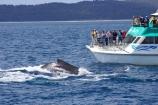Animal;Animals;australia;australian;boat;boats;Cetacean;Cetaceans;Coast;dorsal;fin;fins;hervey-bay;humpback;Humpback-Whale;humpbacks;kingfisher;Marine-life;Marine-mammal;Marine-mammals;Megaptera-novaeangliae;Nature;ocean;oceans;pacific-ocean;Power;queensland;Sea;Sea-mammal;Sea-mammals;seas;splash;splashes;splashing;tasman-sea;tourism;tourists;travel;view;Water;Whale;whale-watch;whale-watchers;whale-watching;whale_watch;whale_watchers;whale_watching;Whales