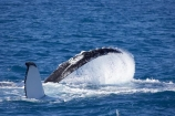 Animal;Animals;australia;australian;big;Cetacean;Cetaceans;Coast;fin;fins;flipper;flippers;giant;gigantic;harvey;hervey-bay;huge;humpback;Humpback-Whale;humpbacks;Marine-life;Marine-mammal;Marine-mammals;Megaptera-novaeangliae;Nature;ocean;oceans;pacific-ocean;Power;queensland;Sea;Sea-mammal;Sea-mammals;seas;spectacular;splash;splashes;splashing;tasman-sea;Water;Whale;whale-watch;whale-watching;whale_watch;whale_watching;Whales
