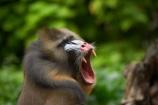 australasian;Australia;australian;blue;mandrill;mandrills;Melbourne;melbourne-zoo;park;parks;pink;red;Victoria;zoo;zoos