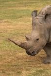 africa;african;animal;animals;australasian;Australia;australian;Ceratotherium-simumsimum;endangered;game-park;game-parks;game-viewing;horn;horns;mammal;mammals;Melbourne;pachyderm;pachyderms;park;parks;poaching;rhino;rhinoceros;rhinoceroses;rhinos;safari;safaris;southern-white-rhinoceros;square-lipped-rhinoceros;square_lipped-rhinoceros;threatened;Victoria;werribee;Werribee-Open-Range-Zoo;white-rhinoceros;wild;wildlife;zoo;zoology;zoos