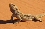 animal;animals;arid;Australasia;Australia;Australian;Australian-Desert;Australian-Deserts;Australian-Outback;back-country;backcountry;backwoods;Bearded-Dragon;Bearded-Dragons;claws;country;countryside;desert;deserts;dry;geographic;geography;lizard;lizards;N.S.W.;New-South-Wales;NSW;outback;Pogona-vitticeps;red-centre;remote;remoteness;reptile;reptiles;reptilian;rural;sand;scales;scaley;wilderness;wildlife
