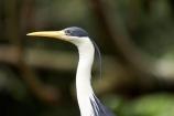 Animal;animals;Ardea-picata;Ardeidae;Australasian;Australia;Australian;Avian;Beak;bird;bird-watching;bird_watching;birds;Breakfast-with-the-Birds;eco-tourism;eco_tourism;ecotourism;Fauna;Natural;Nature;North-Queensland;Ornithology;Pied-Heron;Pied-Herons;Port-Douglas;Qld;Queensland;The-Rainforest-Habitat-Wildlife-Sanctuary;wild;Wildlife
