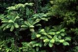 black-tree-fern;blacktree-fern;fern;ferns;forest;forestry;forests;green;lush;mamaku;native-bush