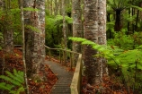 Auckland;Auckland-Region;fern;ferns;forest;forests;frond;fronds;kauri;Kauri-forest;kauri-tree;kauri-trees;kauris;N.Z.;native-bush;native-forest;native-forests;nature;New-Zealand;North-Auckland;North-Is.;North-Island;Nth-Is;NZ;Parry-Kauri-Park;path-pathway;paths;tree;trees;walking-track;walking-tracks;Warkworth;wood;woods