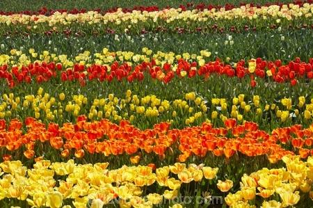 bloom;blooming;blooms;color;colorful;colors;colour;colourful;colours;country;countryside;cultivation;farm;farming;farmland;farms;field;fields;flora;floral;flower;flowers;fresh;garden;grow;growing;growth;horticulture;N.Z.;New-Zealand;NZ;orange;paddock;paddocks;renew;rural;S.I.;season;seasonal;seasons;SI;South-Is.;South-Island;spring;springtime;Tapanui;tulip;tulip-bulb-growing;tulip-field;Tulip-Fields;Tulipa-sp.;tulips;West-Otago;yellow