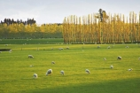agricultural;agriculture;balclutha;clinton;cloud;clouds;cloudy;country;countryside;farm;farming;farmland;farms;fibre;field;fields;grass;grassy;green;horticulture;lamb;lush;meadow;meadows;new-zealand;paddock;paddocks;pasture;pastures;poplar;poplars;rural;sheep;south-island;south-otago;verdant;wool;woolly;wooly