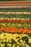 bloom;blooming;blooms;color;colorful;colors;colour;colourful;colours;country;countryside;cultivation;farm;farming;farmland;farms;field;fields;flora;floral;flower;flowers;fresh;garden;grow;growing;growth;horticulture;N.Z.;New-Zealand;NZ;orange;paddock;paddocks;pink;renew;rural;S.I.;season;seasonal;seasons;SI;South-Is.;South-Island;spring;springtime;Tapanui;tulip;tulip-bulb-growing;tulip-field;Tulip-Fields;Tulipa-sp.;tulips;West-Otago;yellow
