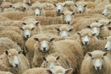 agricultural;agriculture;Animal;Animals;Catlins;Catlins-District;Catlins-Region;country;countryside;Crowd;Crowded;Crowds;drove;droving;ewes;farm;Farm-animals;farming;farms;field;fields;flock;flocks;herbivore;herbivores;herbivorous;herd;herds;livestock;mammal;mammals;meadow;meadows;mob;mobs;muster;mustering;N.Z.;New-Zealand;NZ;Otago;Outdoor;Outdoors;Outside;paddock;paddocks;pasture;pastures;rural;S.I.;sheep;SI;South-Is;South-Island;South-Otago;Sth-Is;Sth-Otago;stock;white;wool;woolly;wooly